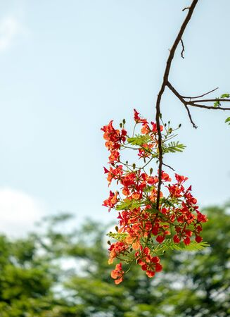 Caesalpinia pulcherrima flower tree on bokeh and  background