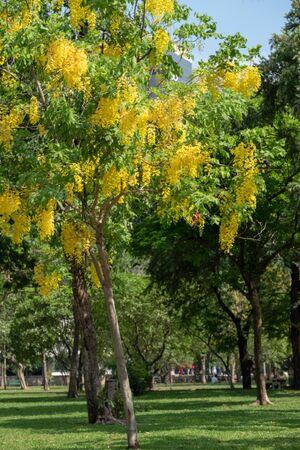 Golden shower flower tree, Cassia fistula in summer on blurred background