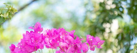 Bougainvillea flowers texture and background Banco de Imagens