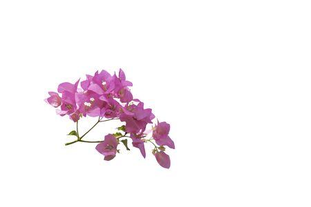 head of beautiful bougainvillea flower with path Banco de Imagens