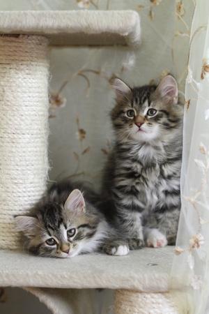 Puppies Siberian cat scratching post on 版權商用圖片 - 21591402