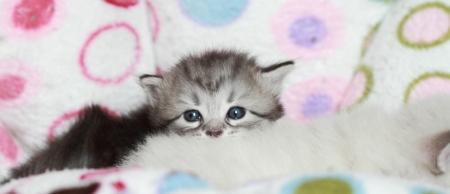 puppies, siberian cat photo