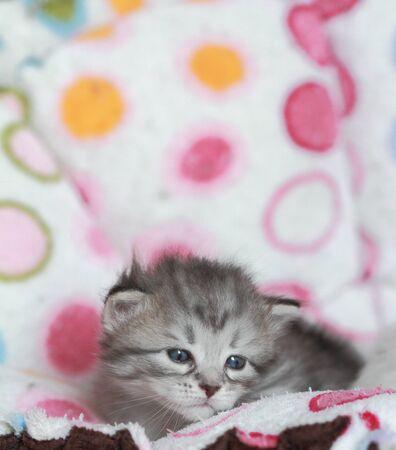 silver version of siberian cat photo