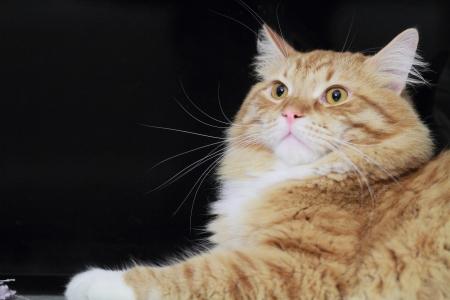 versión roja del gato siberiano