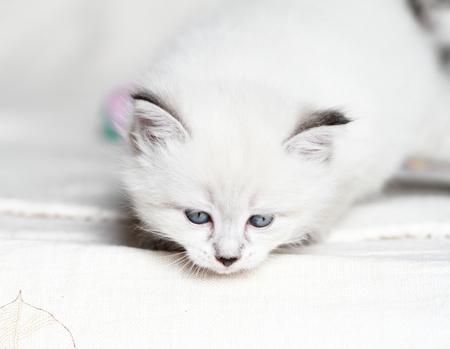 neva: neva masquerade puppy of siberian cat Stock Photo