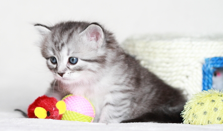 silver puppy of siberian cat