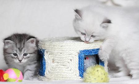 puppies of siberian cat 版權商用圖片 - 22269973