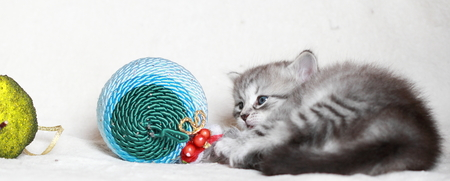 christma: puppy of siberian cat with Christma decoration