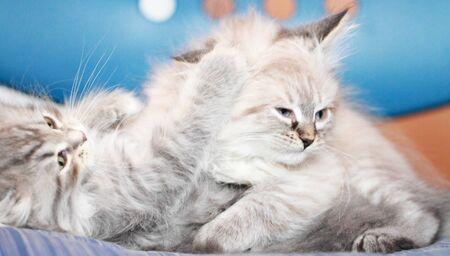wrestling for kittens Stock Photo