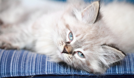 neva: neva masquerade kitten on a cushion