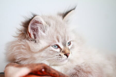 neva: puppy of cat, neva masquerade type Stock Photo