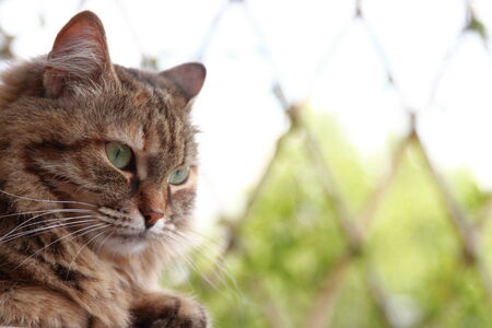 cat of siberian breed, brown tortie tabby mackerel photo