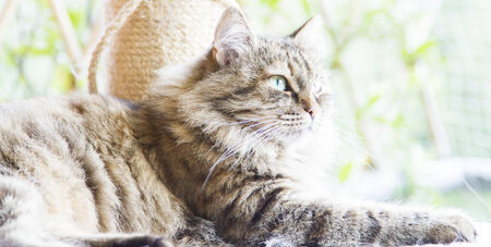 tricolor brown cat of siberian breed, female photo