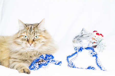 kitten female of siberian breed in Christmas time photo