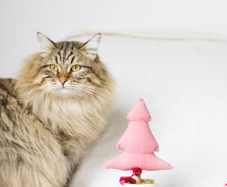 christmas pussy: brown cat of siberian breed at one year in Christmas time Stock Photo