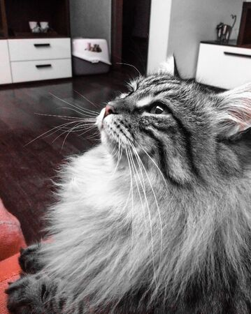 long haired: Siberian cat, long haired Stock Photo