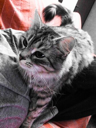 silver: Silver cat on the sofa, siberian breed