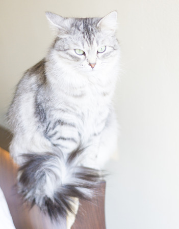 pampered pets: siberian female cat, silver version