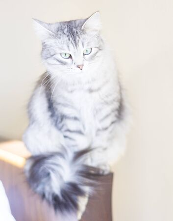 pampered: siberian female cat, silver version