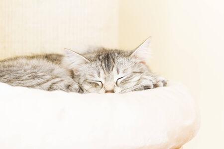 siberian female cat, silver version