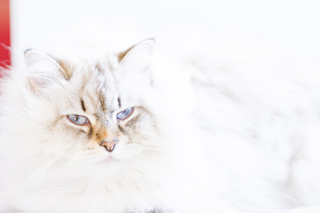 christmas pussy: candid cat, siberian breed Stock Photo