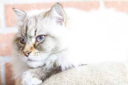 haired: long haired cat of siberian breed, female