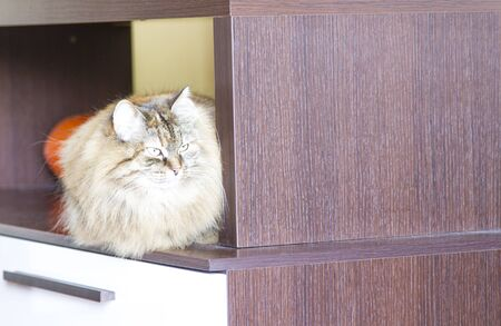 long haired: brown cat of siberian breed,long haired cat