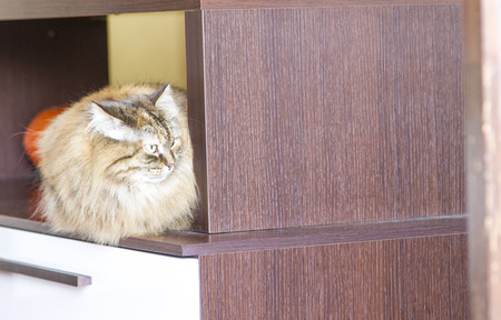 haired: brown cat of siberian breed,long haired cat