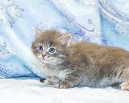 breed: little cat of siberian breed, puppy Stock Photo