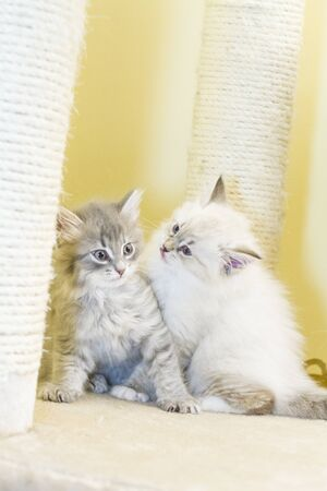 two months: puppies of siberian cat at two months