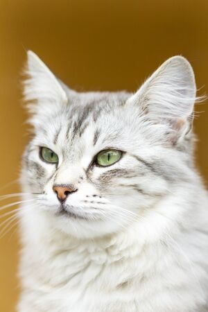 pampered: female cat of siberian breed, silver Stock Photo