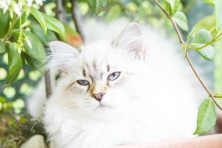 haired: beautiful long haired cat of siberian breed, white neva masquerade Stock Photo