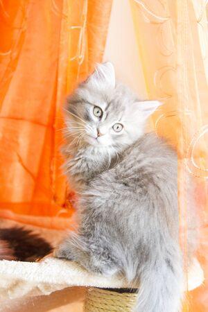 blu: beautiful blu version of siberian puppy, kitten Stock Photo