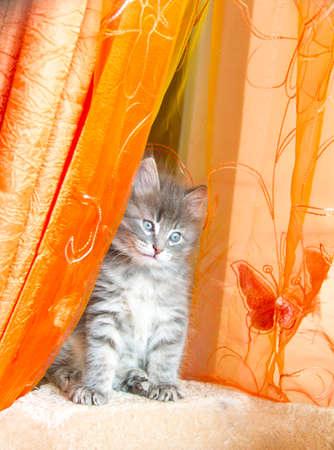 puppy and kitten: beautiful blu version of siberian puppy, kitten Stock Photo