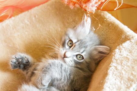 chiot et chaton: belle version blu du chiot sib�rien, chaton Banque d'images