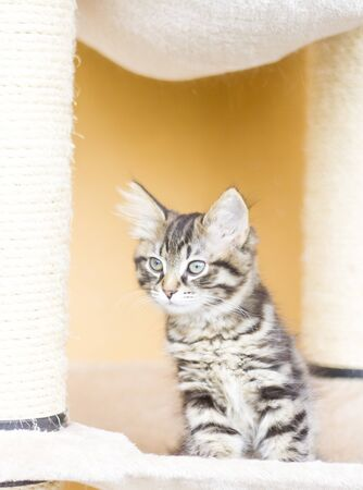 two months: brown kitten at two months, siberian breed Stock Photo