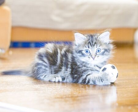 hypoallergenic: brown puppy of cat, siberian breed