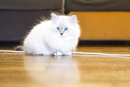 hypoallergenic: siberian puppy of cat, white neva masquerade version