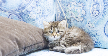 hypoallergenic: brown puppy of siberian cat on the sofa