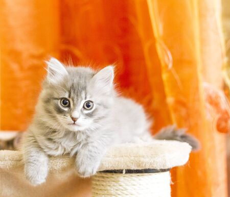 hypoallergenic: blue version of siberian cat, puppy
