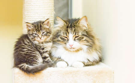 hypoallergenic: cats of siberian breed, brown version Stock Photo