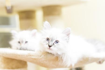 hypoallergenic: white cat, puppies of siberian breed neva masquerade version