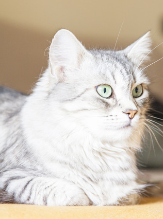 pampered: gorgeous cat, silver-colored