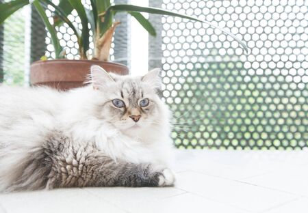 haired: long haired kitten, gorgeous cat breed of siberian Stock Photo