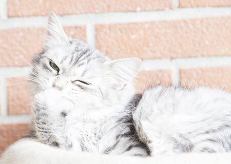 hypoallergenic: gorgeous silver cat