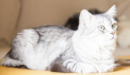 hypoallergenic: silver cat, female breed of siberian Stock Photo