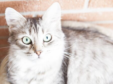 breed: female kitten of Siberian breed, silver version