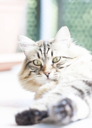 hypoallergenic: male of cat, brown siberian breed