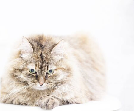 haired: lovable long haired kitten, brown tabby Stock Photo