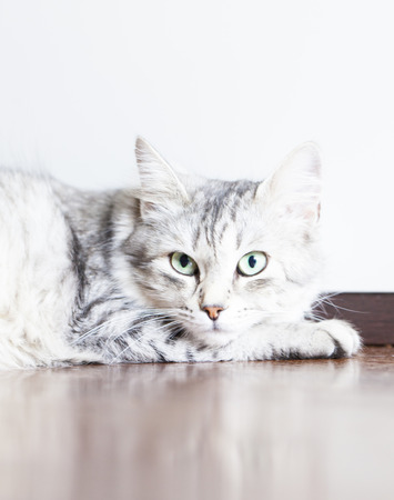 hypoallergenic: silver cat, short haired Stock Photo
